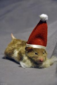 cute hamster santa claus totonika